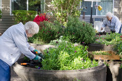 Senior Women Gardeners. Three elderly women tend to their gardens in an assisted living residence Royalty Free Stock Photography