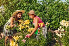 Senior woman and her daughter gathering flowers in garden. Gardeners cutting lilies off with pruner. Gardening concept royalty free stock photo