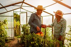 Senior woman and man gathering crop of tomatoes at greenhouse on farm. Farming, gardening concept royalty free stock photo