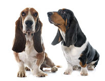 Senior and young Basset Hound Stock Photography
