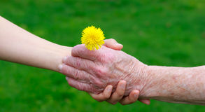 Senior and young hands holding a dandelion Stock Photos