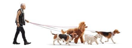 Seniora psi piechur w rzemiennej kamizelce z cztery psami fotografia royalty free
