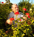 Seniors caring for roses in the garden Stock Photos