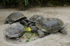 Seniors Gathering. A group of giant tortoises enjoying a meal together at the Singapore Zoological Gardens, Wildlife Reserves Singapore Royalty Free Stock Image