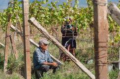 Seniors working in vineyard during harvest time with leaves of grapes around Stock Photo