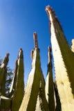 Senita Cactus Lophocereus schottii in Sonoran Desert. Senita Cactus, Lophocereus schottii, pleated multi-arm columnar cactus of Sonoran Desert, Arizona, USA stock image