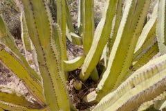 Senita Cactus Lophocereus schottii in Sonoran Desert. Senita Cactus, Lophocereus schottii, pleated multi-arm columnar cactus of Sonoran Desert, Arizona, USA royalty free stock images
