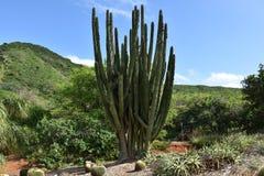 Senita kaktus lub bokobrody kaktus obrazy royalty free
