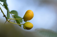 Senna auriculata flower buds background Stock Photos