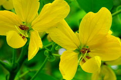 Senna Floribunda or Golden Showy Cassia Flower. Royalty Free Stock Images