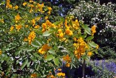 Senna Floribunda yellow flower Royalty Free Stock Photography