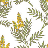 Senna plant seamless pattern Stock Photography