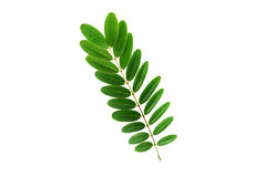 (Senna siamea (Lam.) H.S.Irwin & Barneby), leaf form and texture Royalty Free Stock Photography