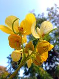 Senna Spectabilis Stock Photos