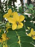 Senna surattensis or Golden senna or Glossy shower flower. royalty free stock image