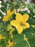Sennabladsurattensis eller guld- glansig duschblomma för sennablad eller Royaltyfri Fotografi