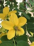 Sennabladsurattensis eller guld- glansig duschblomma för sennablad eller Fotografering för Bildbyråer