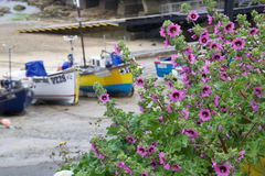 Sennen Boats. Boats in the harbor at Sennen Cove in Cornwall, UK on a summer day.  Pink sea mallows are in flower Stock Images