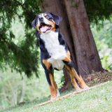 Sennenhund που περιμένει τον προϊστάμενό του για να παίξει με τον Στοκ Φωτογραφία