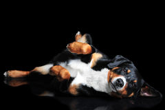 Sennenhund Appenzeller tricolor dog isolated on black Royalty Free Stock Images