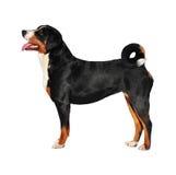 Sennenhund Appenzeller tricolor dog isolated on white, in studio Stock Image