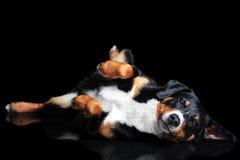 Sennenhund Appenzeller tricolor hund som isoleras på svart Royaltyfria Bilder
