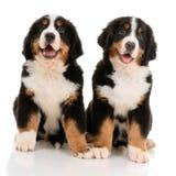 Sennenhund de Berner Photos libres de droits