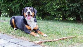 Sennenhund die op zijn werkgever wachten om met hem te spelen Stock Foto's