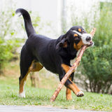 Sennenhund playing with long branch Royalty Free Stock Photography