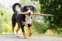 Sennenhund playing with long branch Stock Image