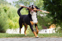 Sennenhund playing with long branch Stock Photography