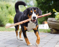 Sennenhund playing with long branch Royalty Free Stock Images