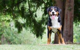 Sennenhund som väntar på hans framstickande att spela med honom Arkivfoto