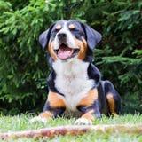 Sennenhund som väntar på hans framstickande att spela med honom Arkivbild