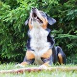 Sennenhund som väntar på hans framstickande att spela med honom Royaltyfri Foto