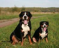 Sennenhunds Lizenzfreie Stockfotos