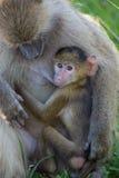 Seno-alimentazione gialla del babbuino Immagine Stock