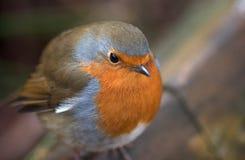Seno di colore rosso di Robin Immagini Stock Libere da Diritti