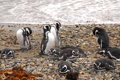 Seno Otway penguin colony - Patagonia Chile. Magellanic penguins - Seno Otway penguin colony Patagonia Chile Stock Photography