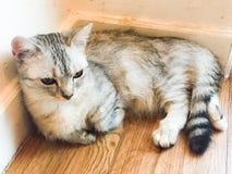 Sensação preguiçosa do gato sonolento imagem de stock