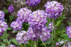 Sensación púrpura en el campo Fotos de archivo