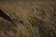 Sensation du blé Photo libre de droits
