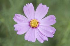 Sensazione rosa dell'universo del fiore Fotografie Stock