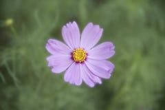 Sensazione rosa dell'universo del fiore Fotografia Stock Libera da Diritti