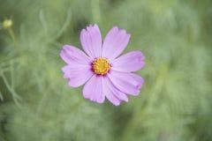 Sensazione rosa dell'universo del fiore Immagini Stock