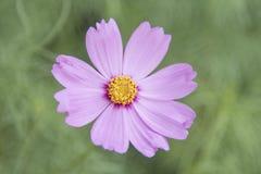 Sensazione rosa dell'universo del fiore Fotografia Stock