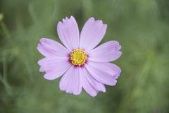 Sensazione rosa dell'universo del fiore isolata Fotografie Stock