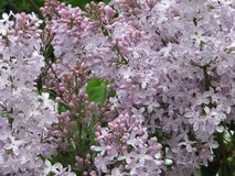 A sense of joy and continuation of life, looking on the shrub lilac stock image