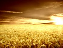 Senset 5. A sunset and a corn-field Royalty Free Stock Photos