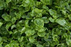 Sensibilità naturale del fondo di verde della foglia del crescione Immagine Stock Libera da Diritti